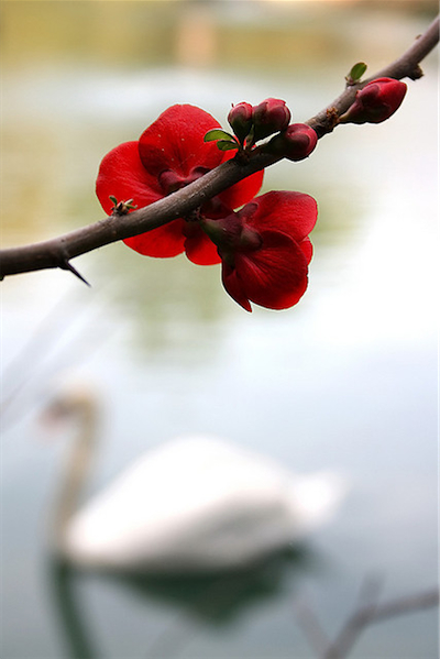 Flower and Swan