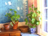Geraniums in a window